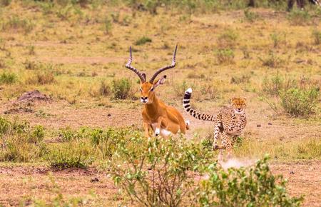 El cazador más rápido de Sabana. Masai Mara, Kenia Foto de archivo - 75177547