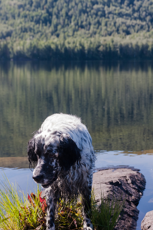 English setter on a vacation. Rest after work. Siberia, Russia Stock Photo