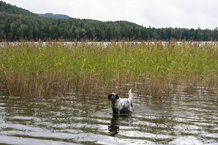 English setter. Walk in the reeds. Siberia, Russia