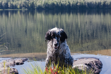 English setter on a vacation. Rest after work on Tagasuk lake. Siberia, Russia Stock Photo