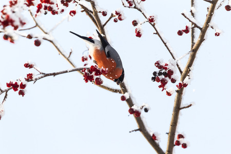Bullfinch. Bird sits on a tree. Siberia, Russia.