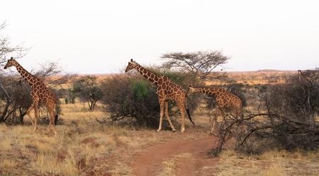 samburu: Small herd of reticulated giraffes. Samburu, Kenya