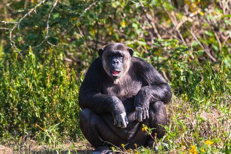 Thoughtful chimpanzee on shore of pond. SweetWater, Kenya