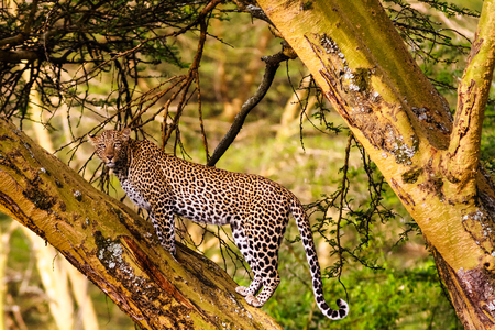 thickets: Leopard on the tree. Kenyan views, Africa