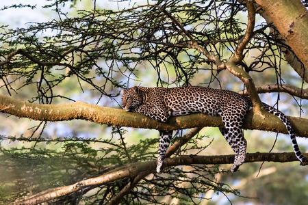thickets: Portrait of a leopard resting on a tree. Nakuru, Kenya Stock Photo
