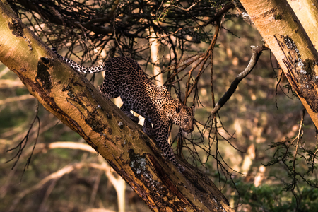 thickets: Leopard on a tree in an ambush. Fast attack. Kenya