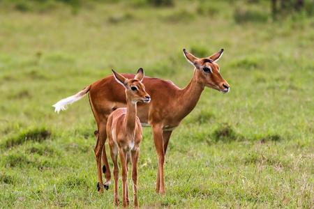 nakuru: African impala with baby. Nakuru, Kenya.