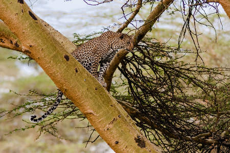 The leopard sits on a tree. Observation point. Kenya, Africa