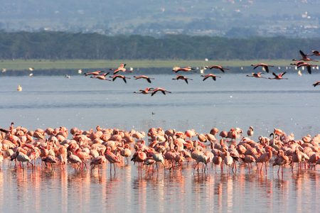 nakuru: Flamingos from Nakuru. Kenya, Africa Stock Photo