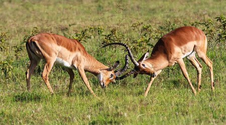The battle for the female impala. Kenya, Africa