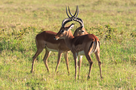 Before the duel. Two males. Who will win? Kenya, Africa