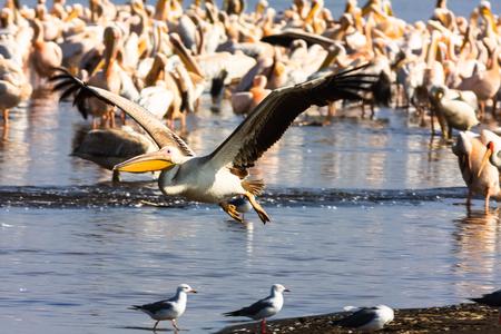 nakuru: Pelican sits on the water. Nakuru, Kenya. Africa