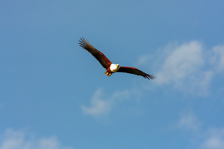 naivasha: Flying eagle angler above Naivasha lake. Kenya, Africa