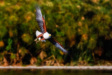 イーグル アングラー湖の上を飛んでいます。ケニアのナイバシャ 写真素材