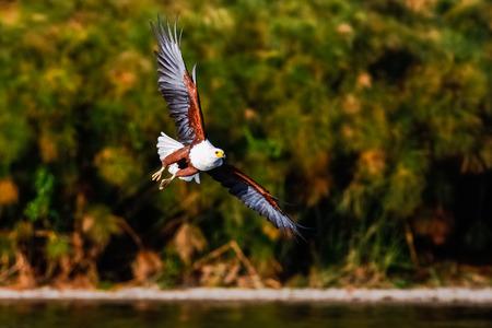 호수 위에 비행 독수리 낚시꾼입니다. 나이 바샤, 케냐