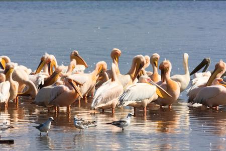 nakuru: A flock of pelicans on the shore of the lake. Nakuru, Kenya