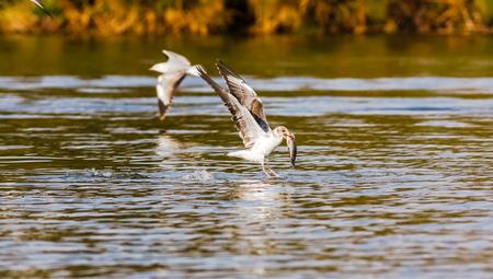 ¡Pescado! La batalla de las gaviotas. Lago Naivasha, Kenia. África Foto de archivo