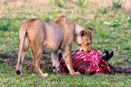 Lioness near the prey. Masai Mara, Kenya Imagens - 78246407