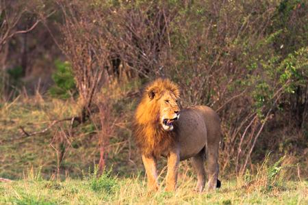 appalling: The biggest cat in Africa. Kenya, Masai Mara Stock Photo