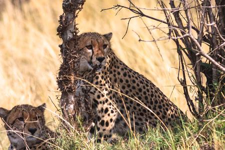 cheetah cub: Cheetahs Serengeti. Kenya, Africa Stock Photo