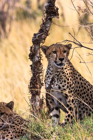 cheetah cub: Two cheetahs near the tree. Kenya, Africa