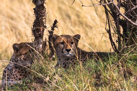 cheetah cub: Scared cheetahs Serengeti. Masai Mara, Kenya