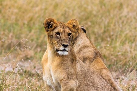 Small lion in the savanna. Masai Mara, Kenya