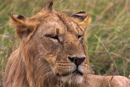 appalling: Head of a young lion. Kenya, Africa Stock Photo