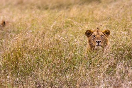 appalling: Young lion in the thick grass. Masai mara, Kenya