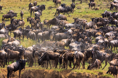 migrating: Herds of herbivores on the shores of the Mara River. Kenya, Africa