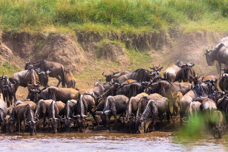 Herds of herbivores on the banks of the Mara River. Kenya, Africa Stock Photo