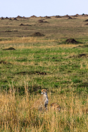 The cheetah observation point. Kenya, Africa