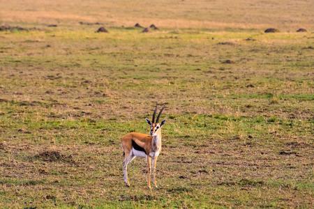 Thomson gazelle in savanna. Kenya, Africa