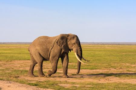 Big elephant in savanna. Amboseli, Kenya. Reklamní fotografie