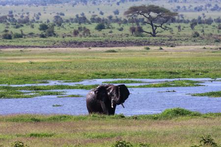 amboseli: Elephants of Amboseli. Africa