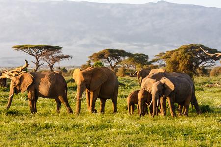 Kleine kudde olifanten. Amboseli, Kenia Stockfoto