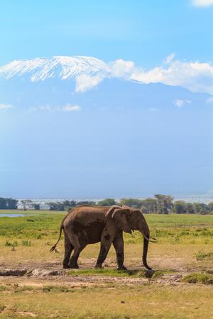Elephant near Mount Kilimanjaro. Snow in Africa. Amboseli, Kenya