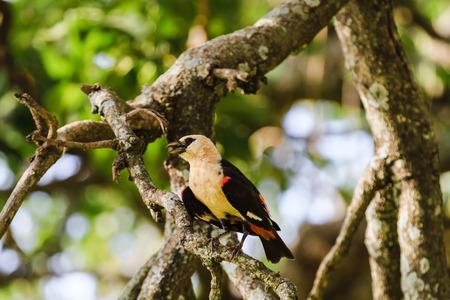 Hangbird on a tree. Tarangire, Tanzania