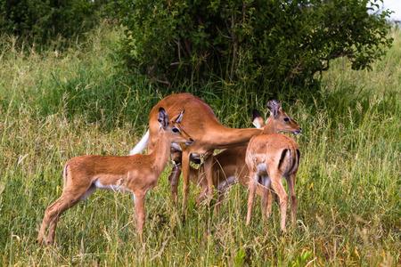Small herd of impalas. Tarangire, Tanzania