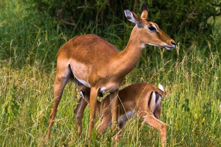 Zwei Impalas: Mutter und Baby. Tarangire, Tansania Standard-Bild - 84782847
