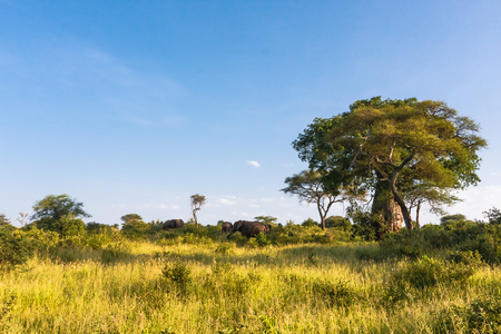 Millennial baobab and a herd of elephants. Tarangire, Africa