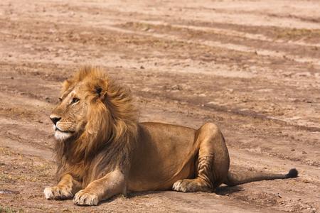 Lion resting on the ground. Sandy savanna of Serengeti, Tanzania Stok Fotoğraf