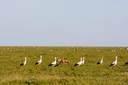 Flock of birds on savanna of Serengeti, Tanzania