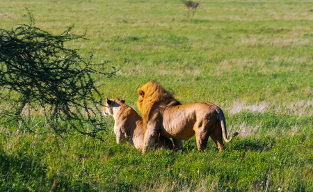 A premonition of love. The lion and lioness resting on the ground. Savanna of Tanzania, Africa Stock fotó
