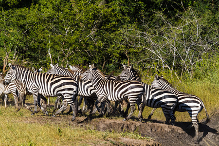 Big group of zebras in african savanna. Tanzania Stock Photo