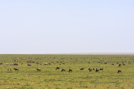 Great herds in savanna of Serengeti. Tanzania, Africa