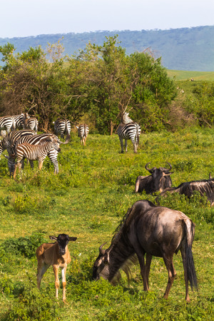 Little herd of zebraz and wildebeests in Ngorongoro crater. Tanzania, Africa Stock Photo