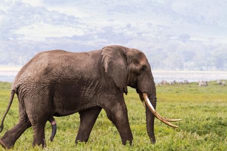 Portret van een grote olifant met een zeer grote slagtand. NgoroNgoro, Tanzania