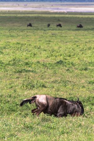 Antelope gives a new life. The birth of a cub. NgoroNgoro, Tanzania