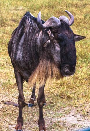 Portrait of wildebeest. Crater NgoroNgoro, Tanzania, Africa